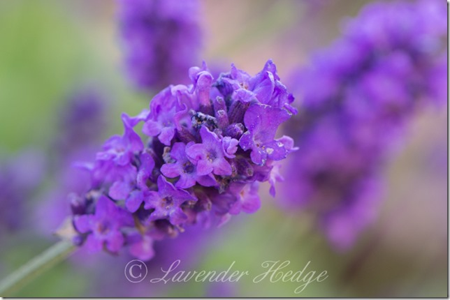 Lavender flower spike