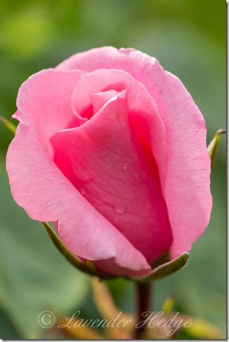Pink rose bud ©Lavender Hedge