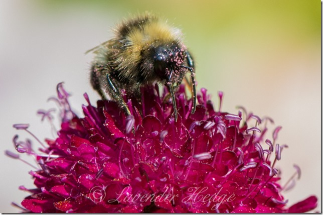 Bumble Bee on Knautia macedonica flower