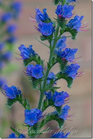 Wildflower: Echium vulgare ©Lavender Hedge