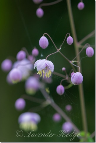 Thalictrum ©www.LavenderHedge.co.uk