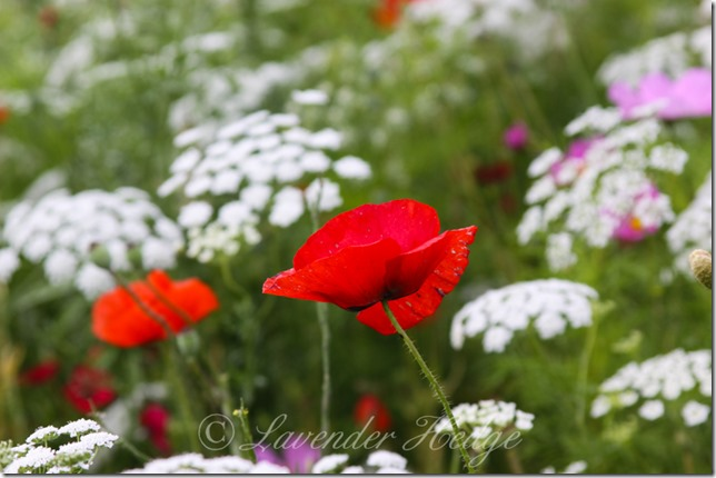 Wildflowers: Flanders poppies and Ammi majus