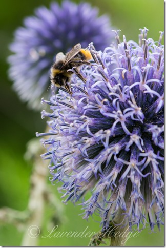 Bumble bee on Echinops ritro