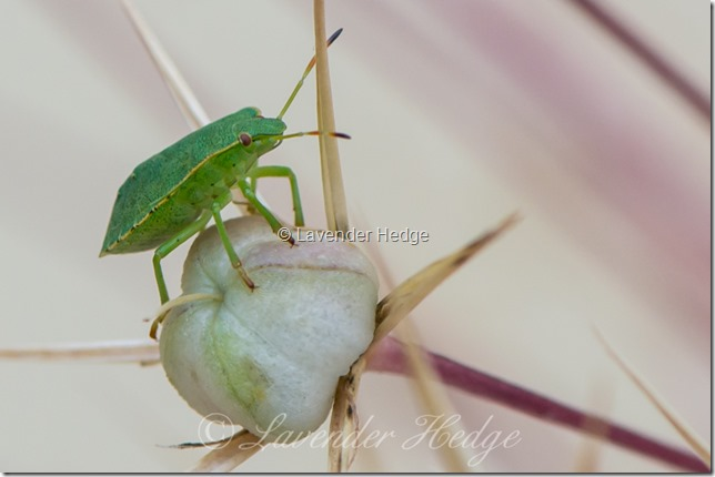 Green Shield Bug on allium seed head