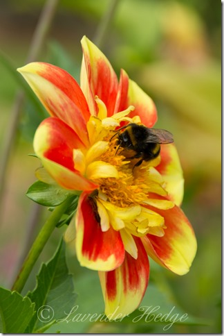 Orange and yellow dahlia with bee and earwig