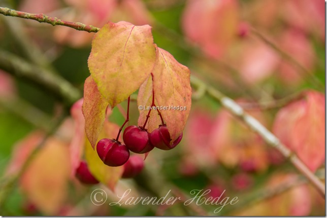Spindle Berry Tree, Euonymus europaeus