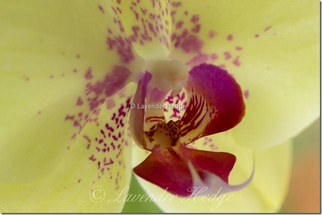Orchid macro