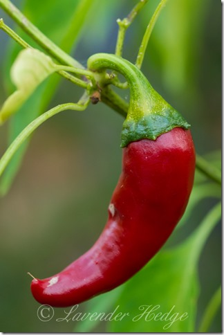 Cayene chili pepper