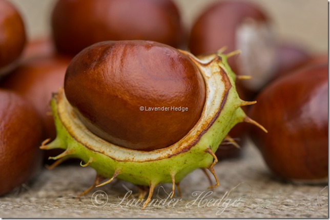 Conker from the Horse Chestnut tree