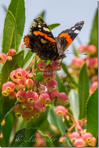 Red Admiral butterfly on Arbutus unedo tree flower