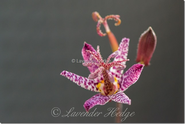 Tricyrtis 'Blue Boy'