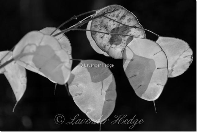 Lunaria annua seed heads