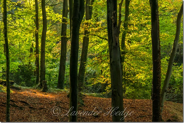 Autumn sunshine in the beech wood