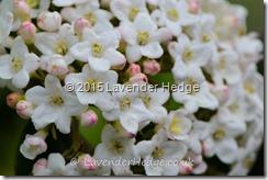 Hardy shrub. Viburnum Burkwoodii