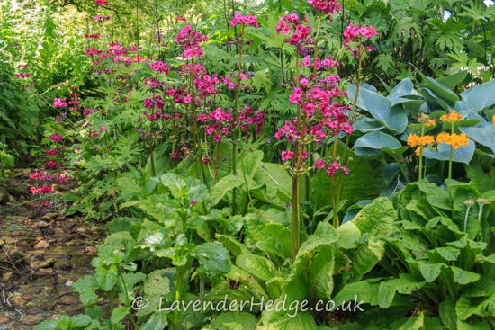 Primula and hostas
