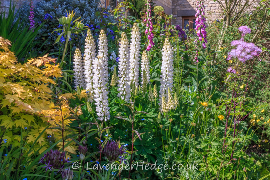 White lupins and foxgloves