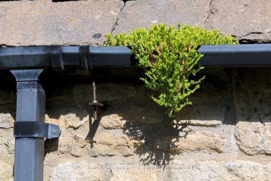 sedum plant in gutter