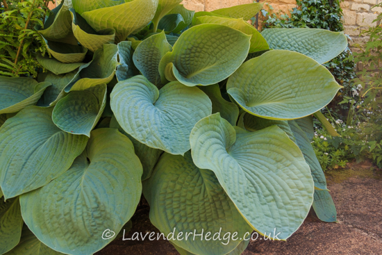 Large hosta leaves