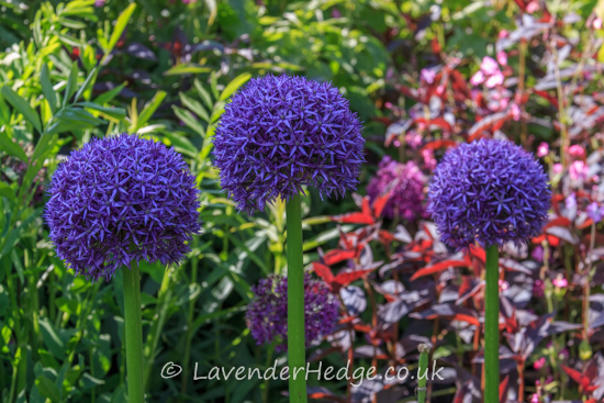 purple allium flower heads