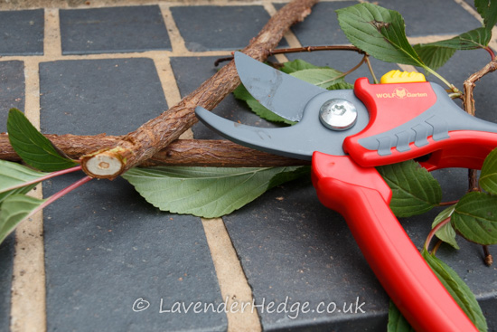 branch and secateurs