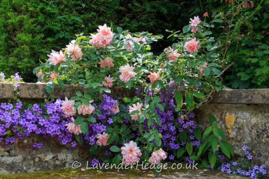 pink roses and purple campanula