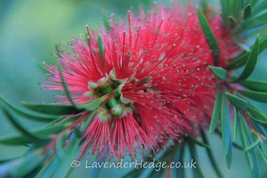 Red, fluffy flower head