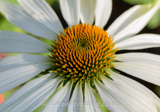 White daisy-like flower with orange centre