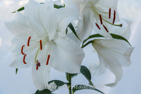 pure white lily and stamens