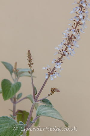 flower spike of silver leafed plant