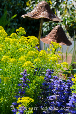 Euphorbia cyparissias and Ajuga retans