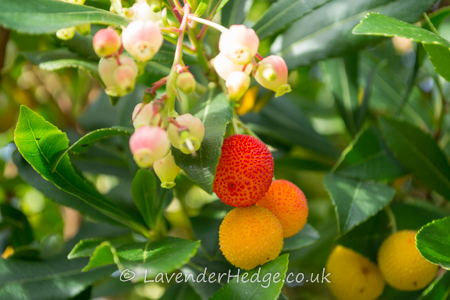 Flowers and fruit of arbutus unedo