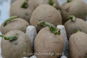 chitting potatoes in egg box