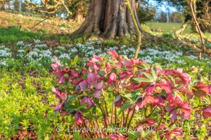 spring flowers hellebores and snowdrops