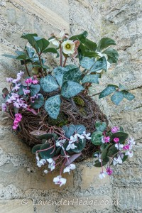 Cyclamen and hellebores in wall basket