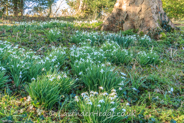 naturalised snowdrops