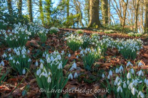 Snowdrops in beech leaves