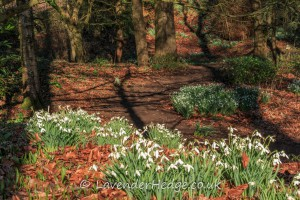 snowdrops in beech wood