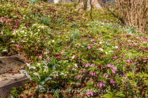 Banks of hellebores