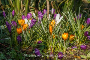 Crocus colour