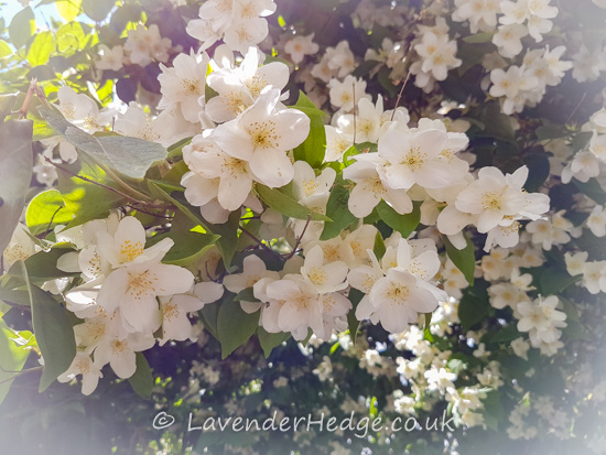 white flowering shrub with heart shaped leaves.