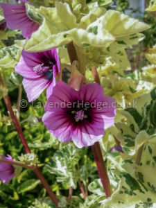 purple flower variegated leaves