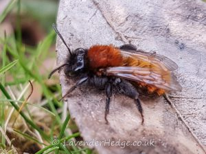 ginger coloured bee