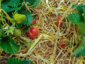 ripening strawberries on a bed of straw