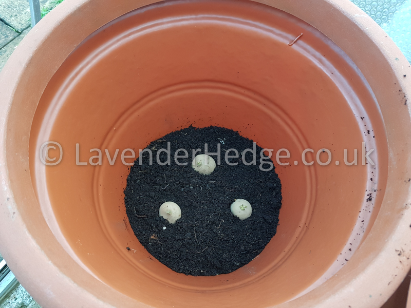 Growing Early Potatoes in Pots