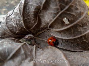 ladybird sheltering in dead leaf